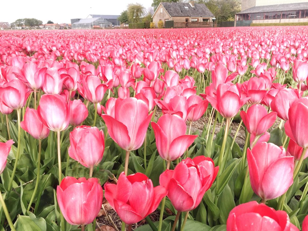 Tulpenfelder.jpg