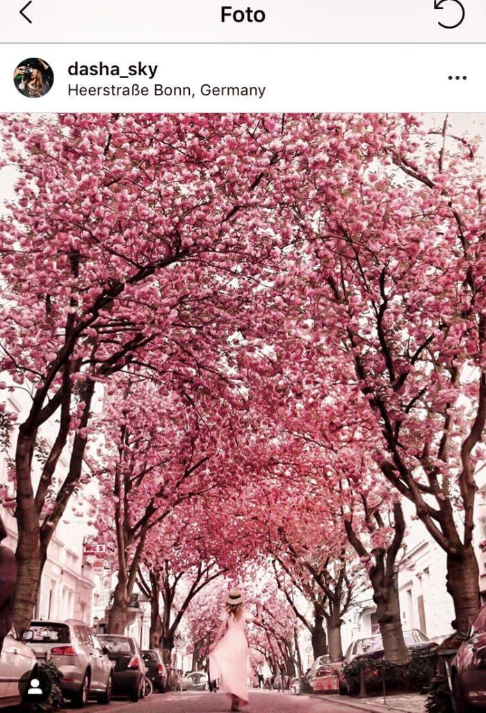 Kirschblüte Bonn Cherry Blossom