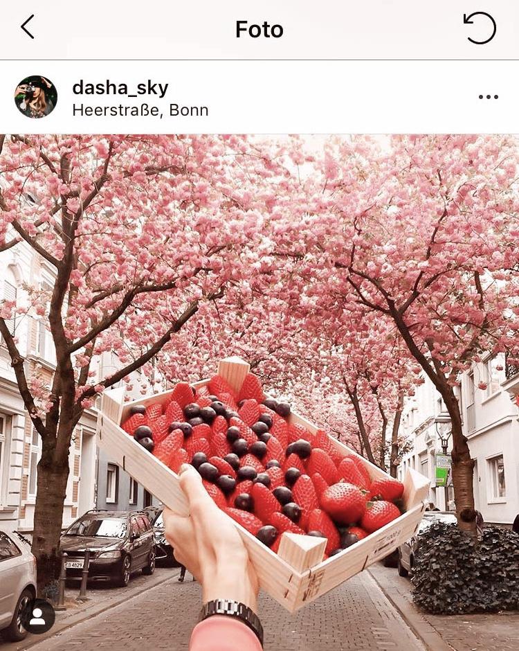 Kirschblüte Bonn Erdbeere
